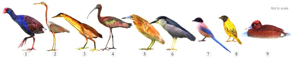 Bird Species - Specialities Quinta Lago Trail Algarve