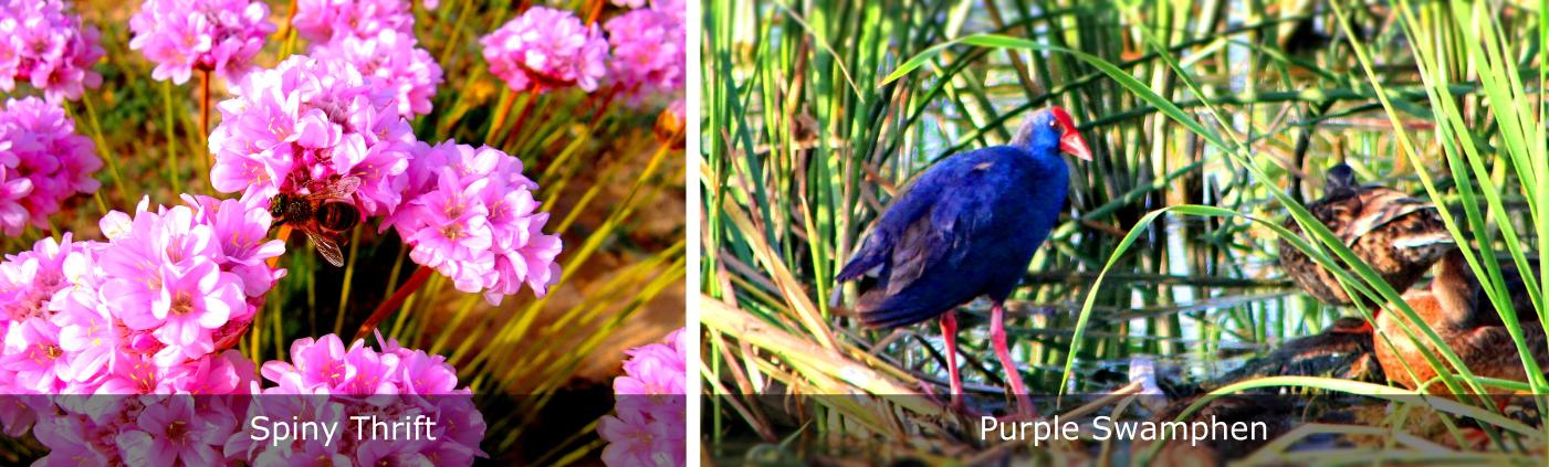 Quinta-do-Lago-Purple-Swamphen