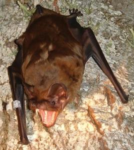 Nyctalus-lasiopterus-Greater-Noctule-Bat-Algarve