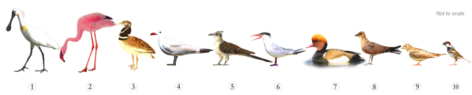 Bird Species - Specialities Venta Moinhos Salt Marsh Trail Castro Marim Reserve Algarve