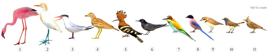 Bird Species - Specialities Alvor Estuary & Boarwalk Trail Algarve Trail