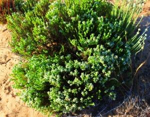 Portuguese-Thyme-Thymus-carnosus-Quinta-do-Lago-Algarve-Portugal