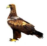 Aquila adalberti Algarve