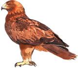 Aquila pennata Algarve