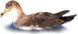 Calonectris diomedea Algarve