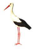 Ciconia ciconia Algarve