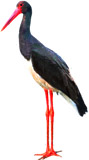 Ciconia nigra Algarve
