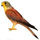 Falco naumanni Algarve