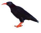Pyrrhocorax pyrrhocorax Algarve