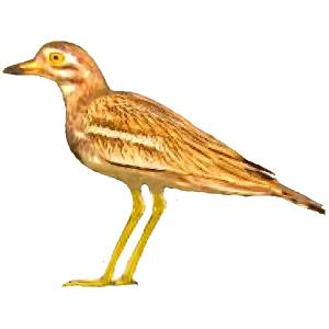 Burhinus oedicnemus Stone-curlew Algarve