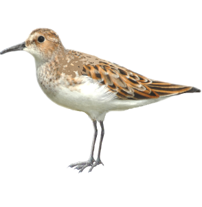 Calidris minuta Little Stint Algarve