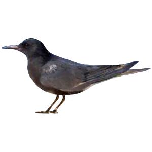 Chlidonias niger Black Tern Algarve