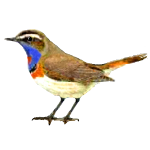 Luscinia svecica Bluethroat Algarve