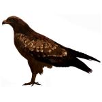 Milvus migrans Black Kite Algarve