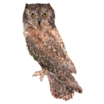 Otus scops Scops Owl Algarve