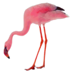 Phoenicopterus roseus Greater Flamingo Algarve
