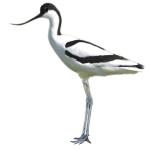 Recurvirostra avosetta Pied Avocet Algarve