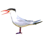 Sterna caspia Caspian Tern Algarve