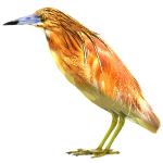 Ardeola ralloides Squacco Heron Algarve Birds