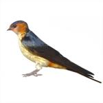 Cecropis-daurica-Red-rumped-Swallow-Algarve