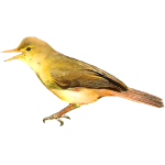 Melodious Warbler Hippolais polyglotta Algarve