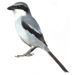 Southern Grey Shrike Lanius meridionalis Algarve