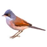 Spectacled Warbler Sylvia conspicillata Algarve