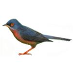 Subalpine Warbler Sylvia cantillans Algarve