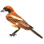 Woodchat Shrike Lanius senator Algarve