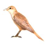 Acrocephalus-arundinaceus-great-reed-warbler-algarve