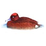Aythya nyroca Ferruginous Duck Algarve