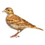 Calandrella brachydactyla Greater Short-toed Lark Algarve