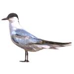 Gelochelidon nilotica Gull-billed Tern Algarve