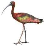 Glossy Ibis Plegadis falcinellus Algarve