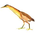 Ixobrychus minutus Little bittern Algarve