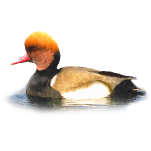 Netta rufina Red-crested Pochard Algarve