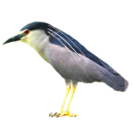 Nycticorax nycticorax Black-crowned Night Heron Algarve