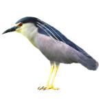 Nycticorax nycticorax Black-crowned Night Heron Algarve