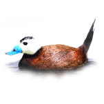 Oxyura leucocephala White-headed Duck Algarve