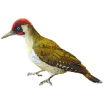 Picus-sharpei-iberian-green-woodpecker-algarve