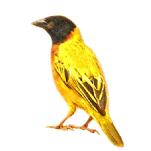 Ploceus melanocephalus - Black-headed Weaver Algarve