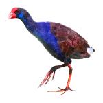Porphyrio porphyrio Purple Swamphen galinulle Algarve