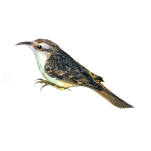 Short-Toed-Treecreeper-Certhia-brachydactyla-Algarve