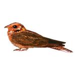 Caprimulgus-ruficollis-Red-necked-Nightjar-Algarve