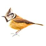 Crested-Tit-Lophophanes-cristatus-Algarve