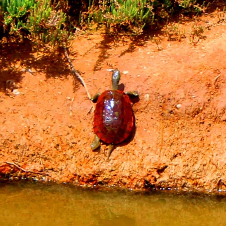 mediterranean-turtle-mauremys-leprosa-ria-formosa
