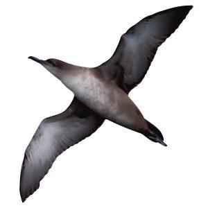 Balearic Shearwater -Puffinus mauretanicus