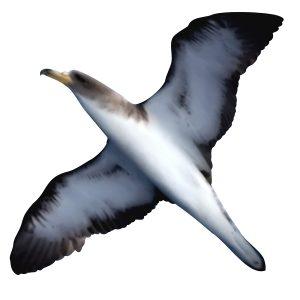 Corys Shearwater - Calonectris borealis