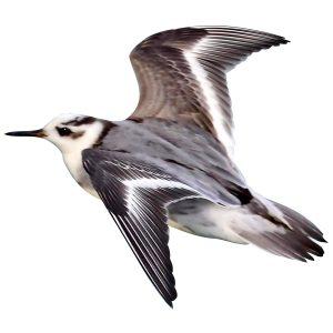 Grey Phalarope - Phalaropus fulicarius