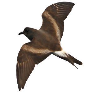 Leachs Storm Petrel - Oceanodroma leucorhoa